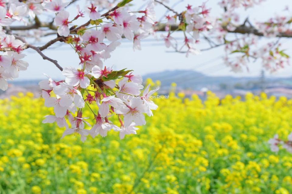 Du lịch Nhật Bản đến vùng Kyushu, bạn vừa có thể chiêm ngưỡng sắc hoa anh đào, vừa đắm mình vào vườn hoa cải dầu rộng bát ngát. (Nguồn: Internet)